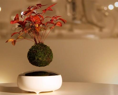 Bonsai w XXI wieku lewituje ...