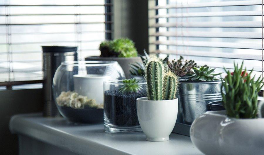 Kaktusy w domu - Kwiaty, wazony i donice wewnętrzne