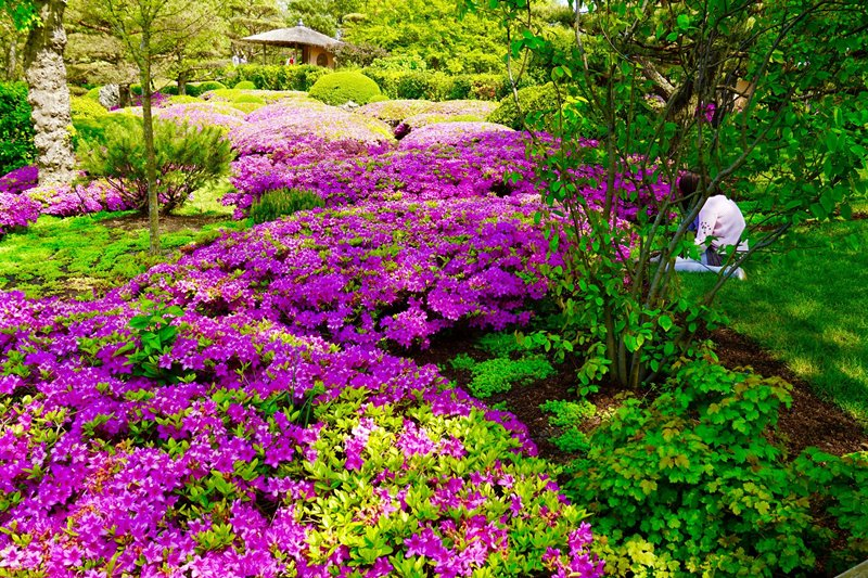 Fioletowe kwiaty niskopienne w ogrodzie