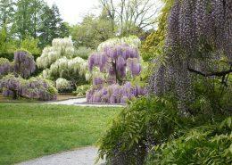 Kwitnące wisterie w formie drzew