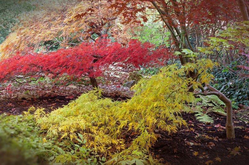 Piękne klony w japońskim ogrodzie